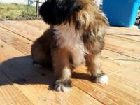 I have a male Lhasa Apso mix puppy he is 8 weeks old