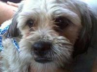 Lhasa Apso - Pepper - Medium - Adult - Male - Dog