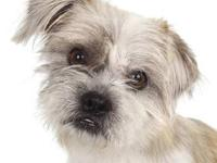 Lhasa Apso - Porche - Small - Adult - Male - Dog Our