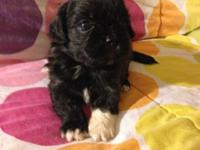 Charming Lhasa Apso Puppies - Registered, 8 weeks,