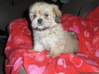 LHASA APSO ... Five CKC Lhasa Apso puppies are