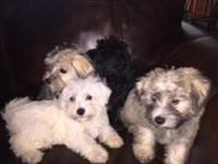 Lhasa Apso puppies available: There are 3 females and 1