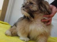 I have a beautifull purebred male Lhasa Apso puppy that