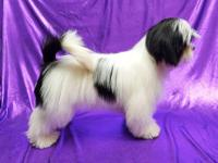 Tuxedo is a gorgeous black & white Lhasa Apso puppy.