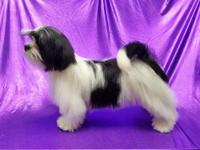 Domino is a gorgeous black & white Lhasa Apso puppy.