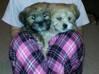 Two Lhasa Apso Puppies- They MUST go and stay together.
