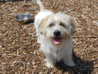 Lhasa Apso - Shaggy - Small - Young - Male - Dog The