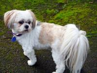 Lhasa Apso - Shelby - 5 Yrs - Small - Adult - Female -