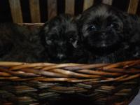 Beautiful Lhasa Apso/ Shih Tzu puppies ready to go