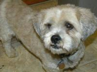 Lhasa Apso - Teddy - Medium - Adult - Male - Dog Teddy