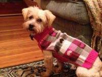 Lhasa Apso - Tinkerbelle - Small - Adult - Female -
