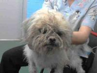 Lhasa Apso - Toby - Small - Adult - Male - Dog Toby is