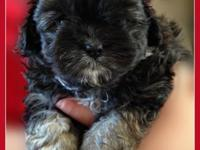 Very adorable and lively Lhasa-Maltipoo puppy. The