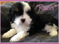 Sweet and very adorable Lhasa-Maltipoo young puppy. She