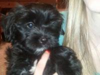 Lhasa-Poo Puppies: Their shots are up to date.. They