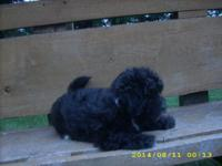 10 Wk. old Lhasa-Poo Puppies: One black male, 1F- black