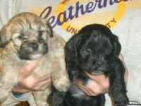 Lhasa-poo Puppies:  Will be 8 wks. old the 11th of