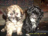 Adorable Lhasa-Poo Puppies: Shots are up to date.