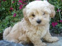 We have 1 cute, cuddly Lhasapoo male puppy available.