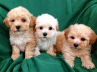 Beautiful Lhasapoo, 8 week old puppies. They are