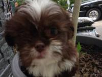 Beautiful litter of Lhaso apso puppies ready for their