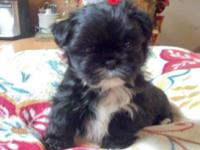 Lhatese young puppies (Lhasa Apso / Maltese hybrids).