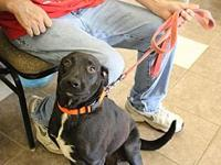 Lia's story Lia is a three year old female Lab mix. She