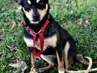 Meet Lia! Lia is a young female min pin/rat terrier