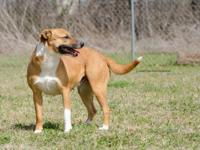 Libby is a 1.5 y/o female Mixed breed, 50 pounds, and a