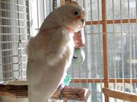 Lido is an adult Goffin Cockatoo. He was surrendered,