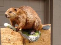 Life-size beaver wall mount. Made to hang on the wall;