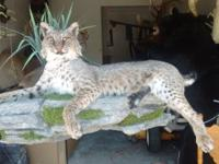 Life-size Bob Cat mantle mount. It can be installed on