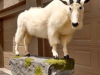 Life-size Male Mt. Goat; This is a wall mount, and it