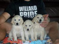 I have some awesome Golden Retriever pups. They are 8