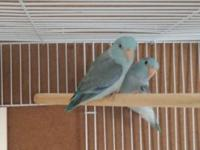 Light pied male parrotlets split to grey and and