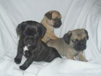 likeable Pug Puppies Male And Female ..Only Text us at