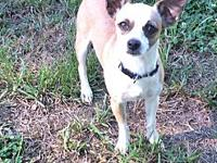 Lil Bit's story Lil Bit is a 2 year old Chihuahua mix.