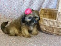 shih tzu puppies: 1 female available, 10wks. old - had
