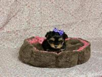 yorkie puppies: 1 female available - had first vaccine,
