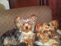 I have a litter male and a female yorkies for sale they