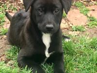 Meet Lila!  She is a Lab/Collie mix who is about 9-10