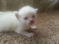 We have two lilac point Siamese male kittens offered.