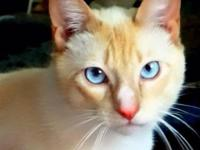 Hello :) I have a beautiful lilac point siamese kitten.