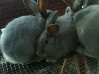 I have 4 beautifull male lilac rabbits for $30.00 each