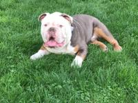 This is my Lilac Tri Olde English Bulldogge Male that