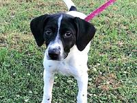 Lilah Mae's story Lilah Mae is a female Pointer puppy,