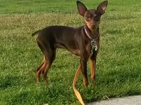 Lilith: 9 mth old chocolate female, spayed, docked tail