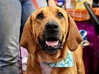 Lilly's story Meet Lilly, a sweet bloodhound mix that