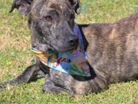 Lilly is a beautiful, 2 y.o., 35 lb. Plott hound. She