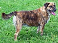 LILLY's story Looking for a brindle-colored Lab? Check